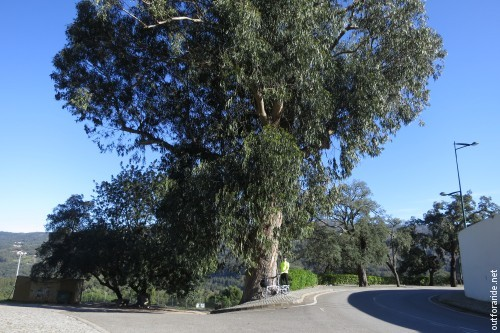 This giant eucalyptus tree greets the traveller on arrival to Monchique.